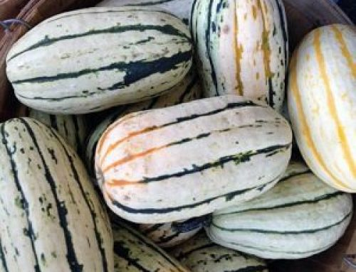 What's Cooking: Delicious Delicata
